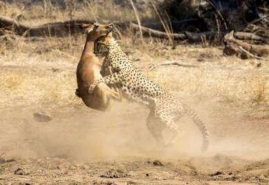 (تصاویر) وقتی آهو به چنگ یوزپلنگ افتاد