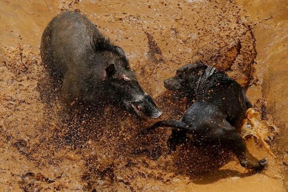 (تصاویر) کسب و کار با نبرد مرگبار سگ و گراز!
