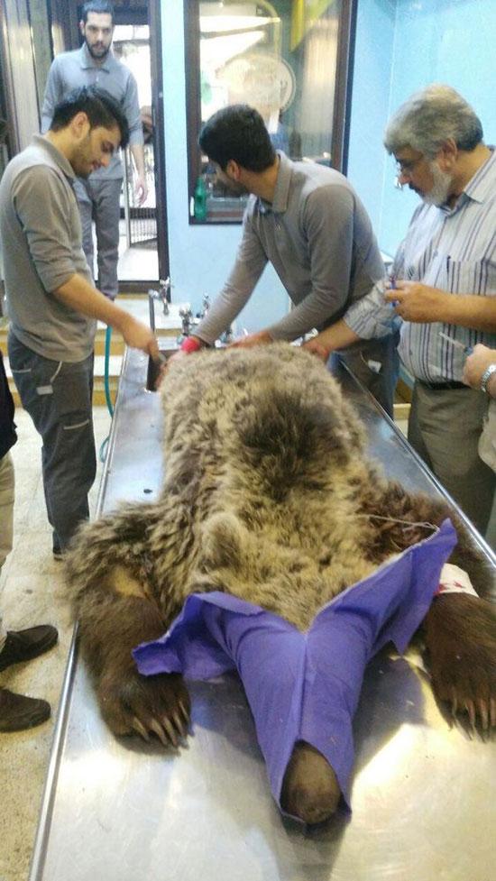 (عکس)خرس زخمی حادثه کندوان نجات یافت