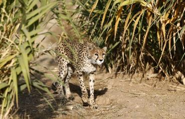 آیا یوزپلنگ ایرانی درحال انقراض است؟