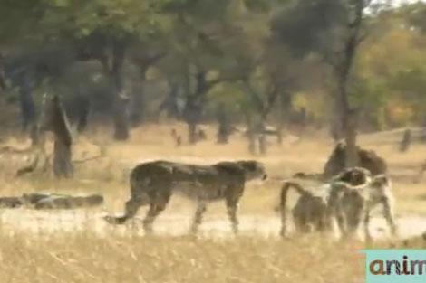 عاقبت ورود یوزپلنگ به محدوده بابونها