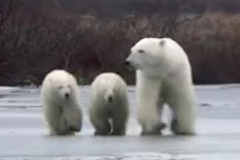 فرار خرس قطبی ماده و تولههایش از خرس نر گرسنه