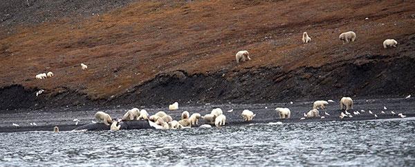 (تصویر) تجمع خرسها برای خوردن یک نهنگ