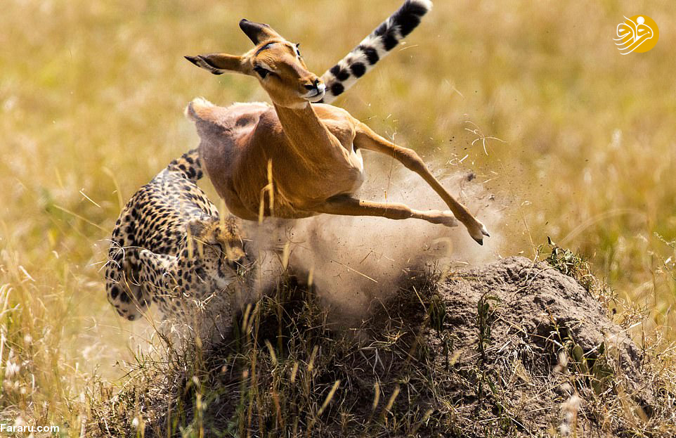 (تصاویر) حرکات نمایشی ایمپالا مقابل یوزپلنگ