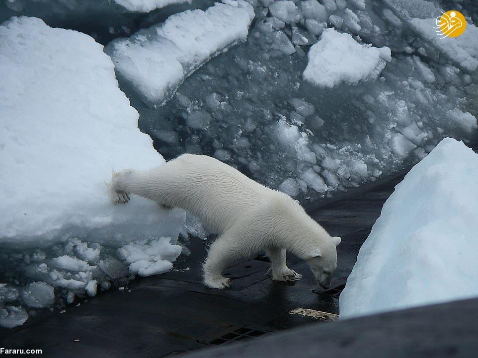 (تصاویر) خرس قطبی روی زیردریایی هستهای
