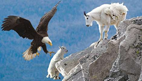(ویدیو) شکار حیرتانگیز عقابی که بز کوهی را ربود!