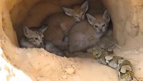 (ویدیو) لحظات نفسگیر هجوم مار غولپیکر به لانه گربهها!