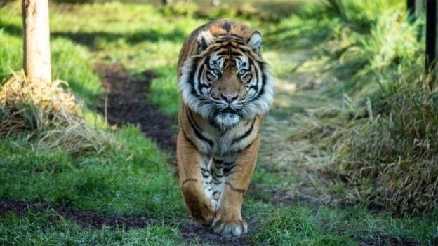 ببر باغ وحش لندن در دعوا با ببر مهمان کشته شد