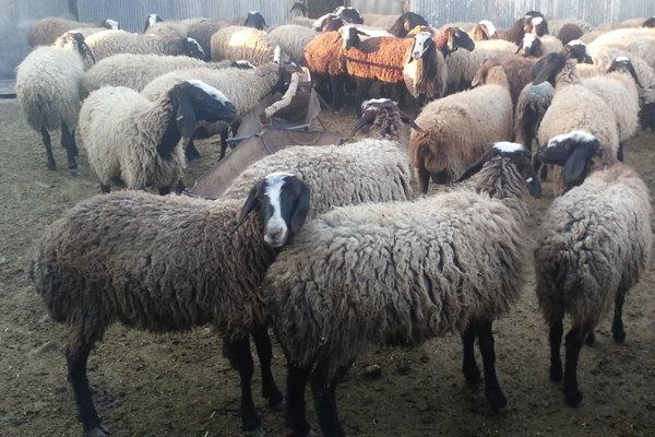 واردات اولین محموله دام زنده از رومانی