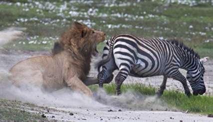 (ویدیو) حمله مرگبار شیرها به گله گورخرها!