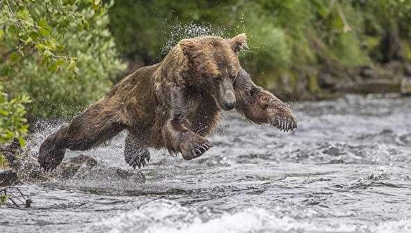 (تصاویر) شیرجه خرس قهوهای روی طعمه!
