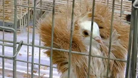 (ویدیو) نمایشگاهی برای کفتربازان!