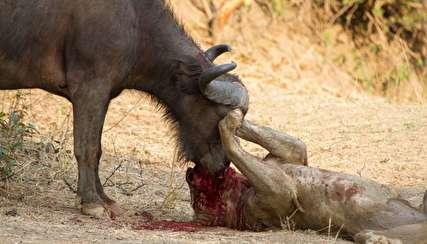 نبرد جانانه گاو میش زخمی با شیرهای گرسنه!