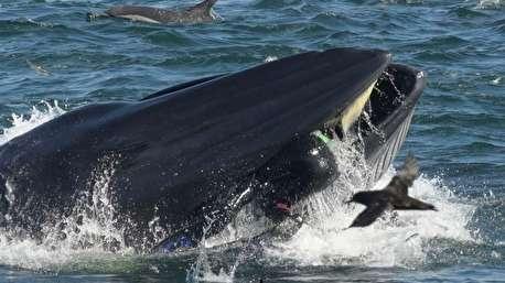 لحظه بلعیدن غواص توسط نهنگ!