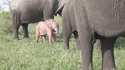 فیل صورتی کمیاب در جنگل