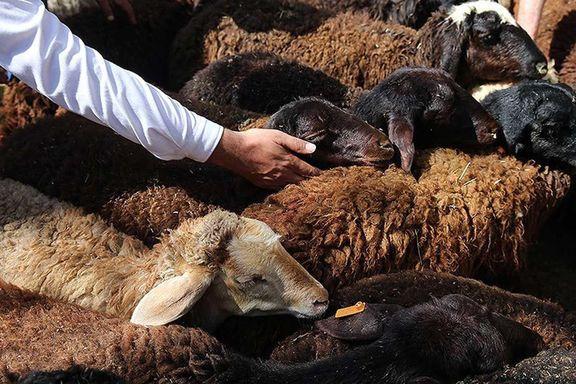 گوسفند ارزان شد، منتظر ارزانی گوشت باشید