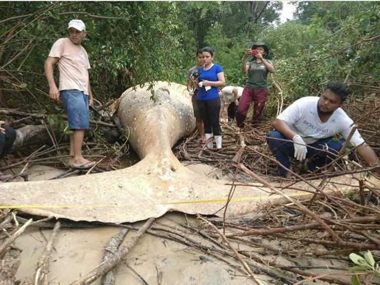 (تصاویر) نهنگ ۱۰ تنی در جنگل های آمازون کشف شد!