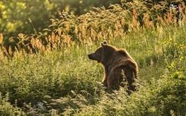 حمله خرس به چوپان 38 ساله