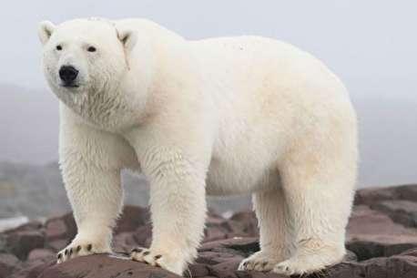 (ویدئو) تلاش خرس قطبی برای شکار شیر دریایی