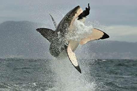 (ویدئو) حمله هولناک کوسه سفید بزرگترین و قدرتمندترین شکارچی دریا