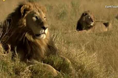 (ویدئو) زندگی شیرها در جلگههای اوکاوانگو
