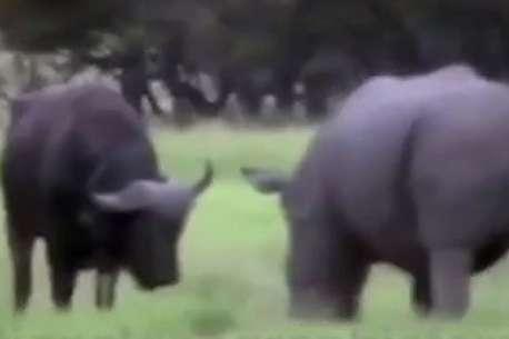 (ویدئو) نبرد هیجانانگیز بوفالو و کرگدن خشمگین
