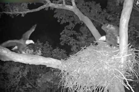 (ویدئو) حمله شبانه جغد به لانه عقابها