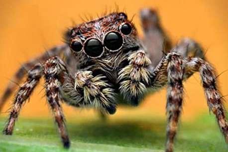 (ویدئو) عنکبوت جهنده حشرهای با سه اسلحه مرگبار