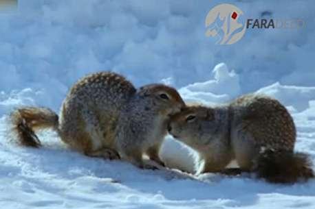 (ویدئو) زندگی سنجابهای قطبی در زمستان