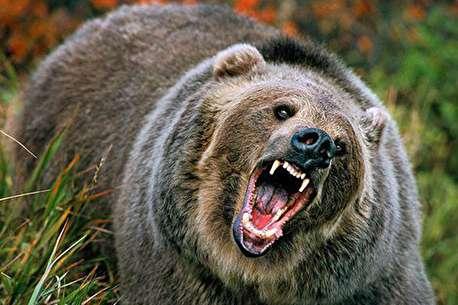 (ویدئو) صحنههای جذاب از زندگی خرس گریزلی