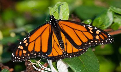 الهام از بال پروانه برای تولید چشم مصنوعی