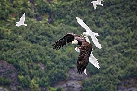(ویدئو) حمله عقاب به دسته مرغان کاکایی در حال پرواز