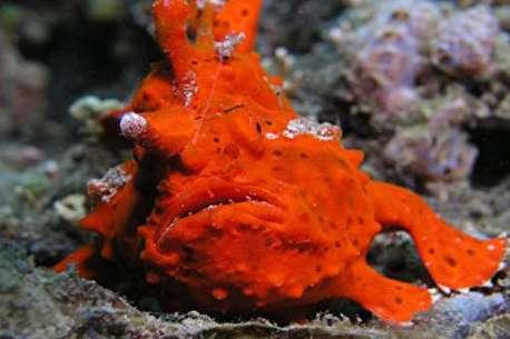(ویدئو) قورباغه ماهی؛ یکی از عجیب ترین ماهی های اعماق دریا