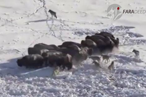 حمله دسته جمعی گرگها به گله بوفالو