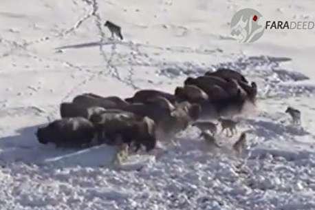 (ویدئو) حمله دسته جمعی گرگها به گله بوفالو