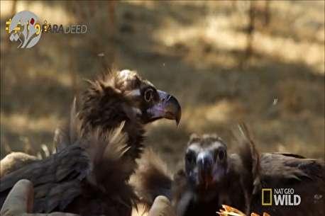 (ویدئو) کرکس سیاه؛ پرنده میزبان مرگ