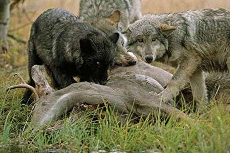 (ویدئو) حمله گرگ به گله بزهای کوهی