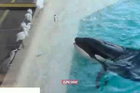 (ویدئو) شکار پرنده توسط نهنگ قاتل