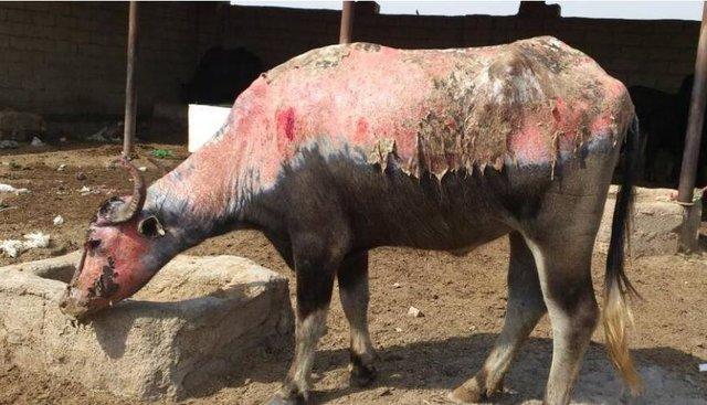 دلیل سوختن گاومیش ها در خوزستان چیست؟