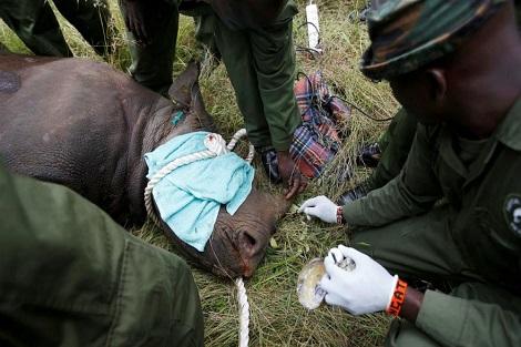 مرگ نهمین کرگدن در کنیا پس از جابهجایی