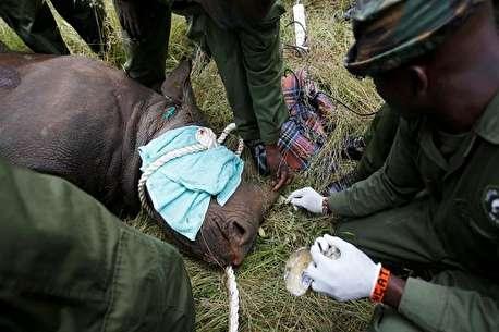 (ویدئو) مرگ نهمین کرگدن در کنیا پس از جابهجایی