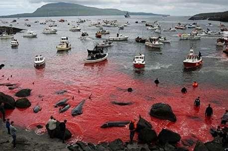 (ویدئو) سنت وحشیانه قتل عام دلفینها در دانمارک