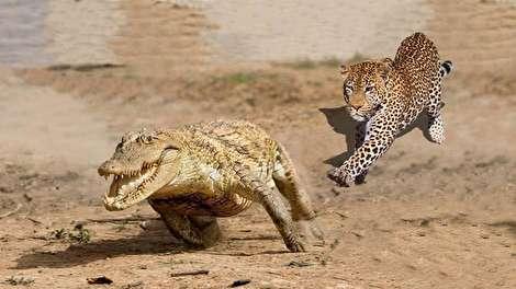 (ویدئو) شکار تمساح توسط جگوار