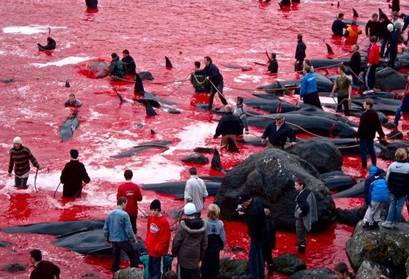 (تصاویر) دریای پوشیده از خون نهنگها!