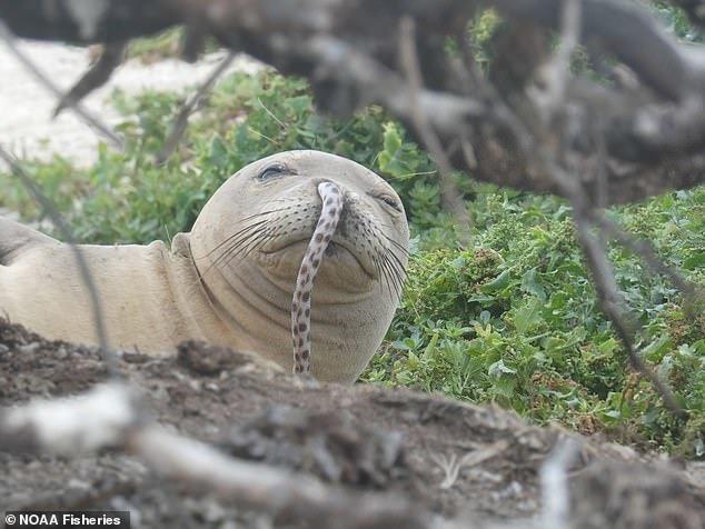 (تصویر) ورود مار خالدار به بینی فک دریایی