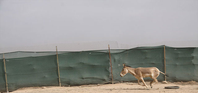 (تصاویر) گورخرهای آسیایی در مرحله جدید انتقال به سمنان ترسیدند؟