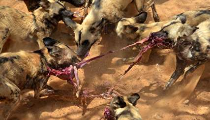(ویدیو) سگهای وحشی، خرگوش بیچاره را تکهتکه کردند!