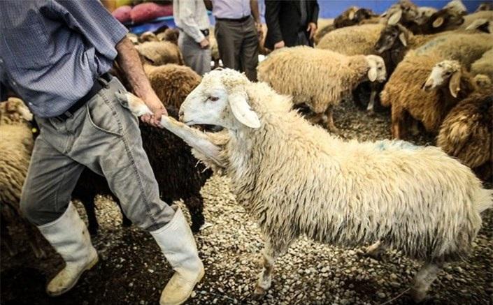 ارزانی گوسفند زنده، اولین سوغات دامهای رومانی