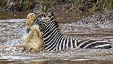 (تصاویر) گورخرها گرفتار آرواره تمساحهای گرسنه