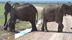 ماجرای عبور بچه فیل ترسو از جوی آب!